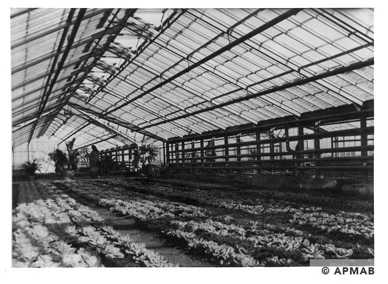Cultivation of vegetables in glasshouses in Rajsko. by Bauleitung d. Waffen SS u. Polizei KL Auschwitz. APMAB 20995 167