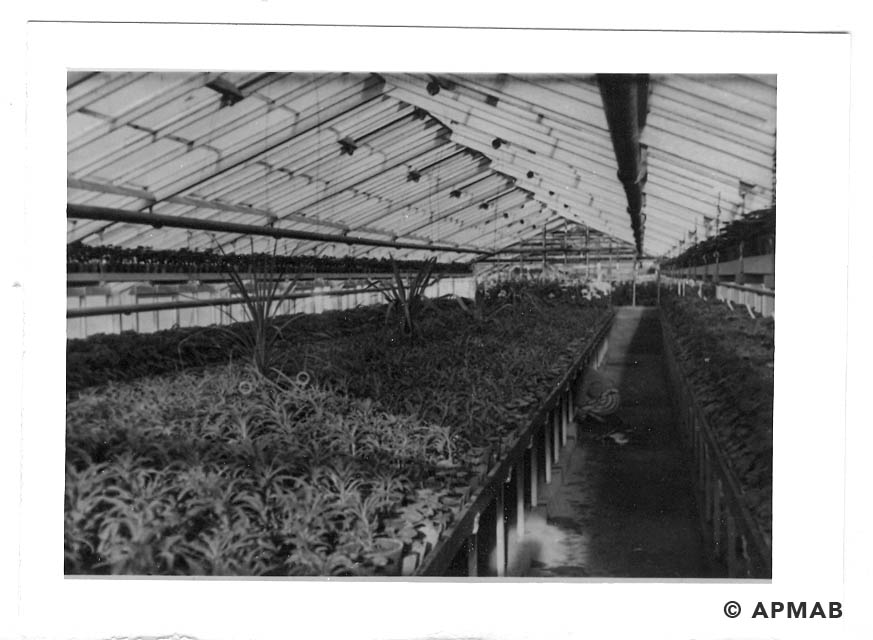 The interior of the greenhouse with crops. 1941-44 APMAB 20995 174
