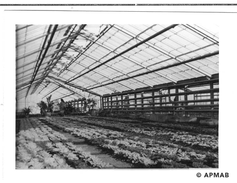 The interior of the greenhouse with crops. 1941-44 APMAB 20995 175